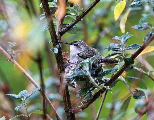 雨の中抱卵するコスタハチドリ