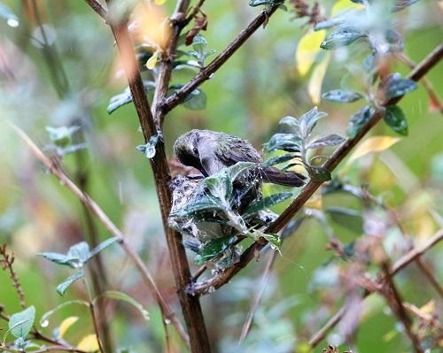 巣の中の卵を転がすコスタハチドリ