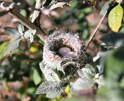 卵2個コスタハチドリの巣