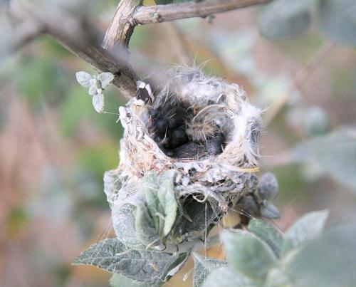 コスタハチドリ雛孵化
