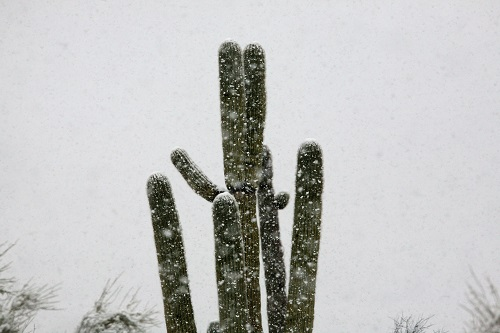 Saguaro と降る雪