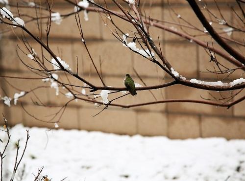 雪の庭木に止まるハチドリ