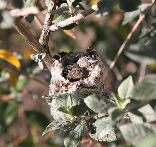 コスタハチドリの雛眠る