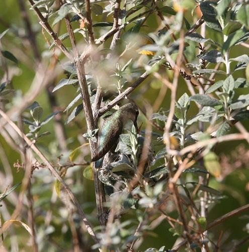 雛にエサを与えるコスタハチドリ雌親 1