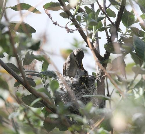 雛にエサを与えるコスタハチドリの雌、2