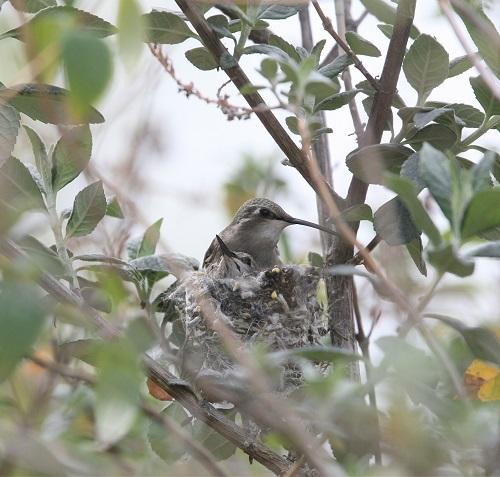 巣で休むコスタハチドリ親子