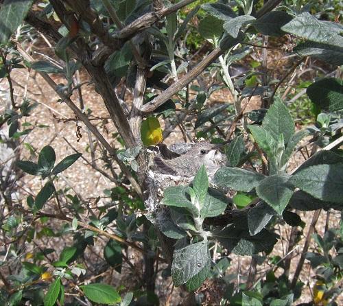 巣立ち前日のコスタハチドリ雛