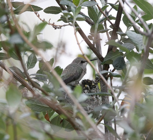 巣の淵に這い上がったコスタハチドリ雛