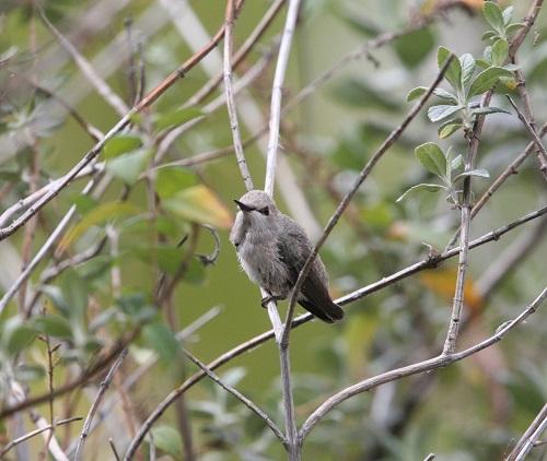 巣を離れたコスタハチドリ雛