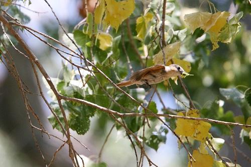 昆虫銜えて飛ぶバラノドカザリドリモドキ雌