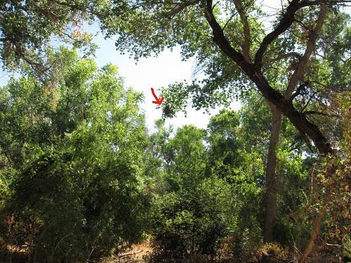 バラノドカザリドリモドキの吊り巣