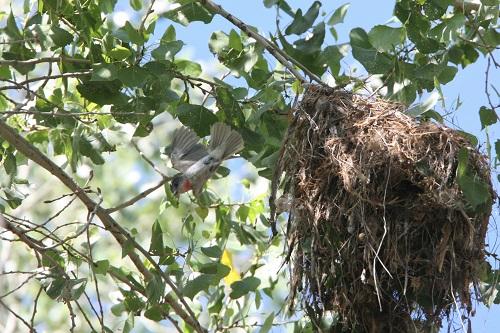 巣から飛ぶバラノドカザリドリモドキ雌