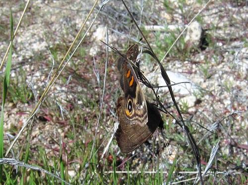 交尾中のトロピカルバックアイ蝶1
