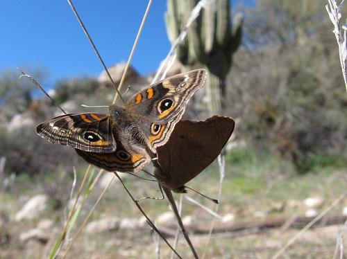 交尾中のトロピカルバックアイ蝶2