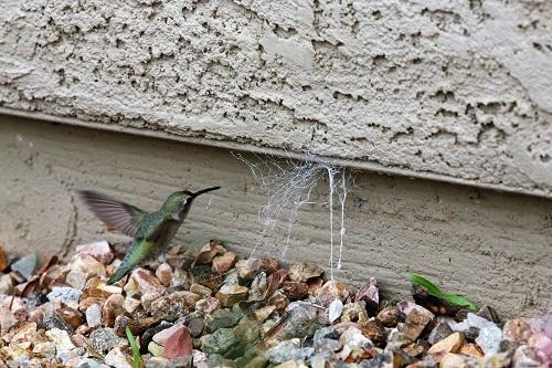アンナハチドリ、蜘の巣に近づく