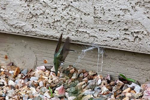 アンナハチドリ、蜘の糸引っ張る