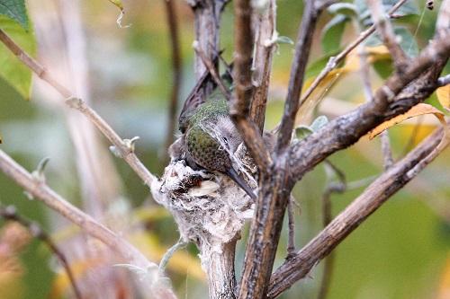 アンナハチドリ、蜘の糸織り込む