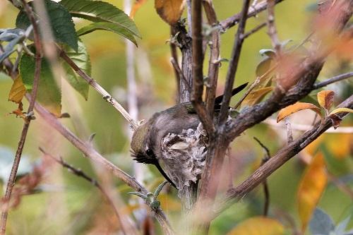 アンナハチドリ、巣の底補強