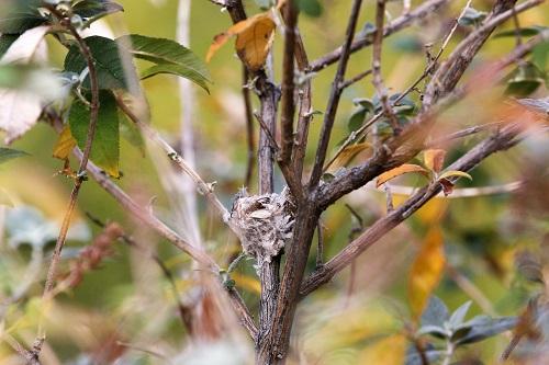 アンナハチドリの巣