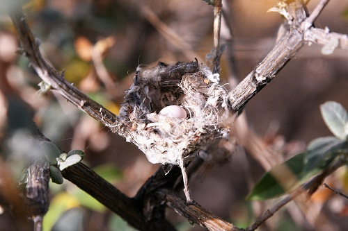 アンナハチドリ最初の卵