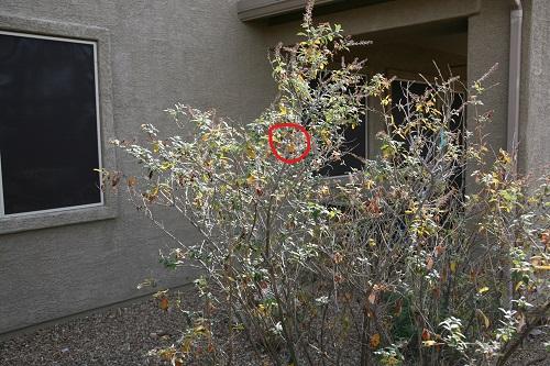 アンナハチドリの巣の小灌木