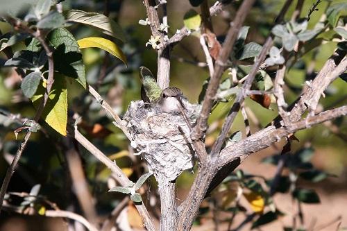 抱卵中のアンナハチドリ