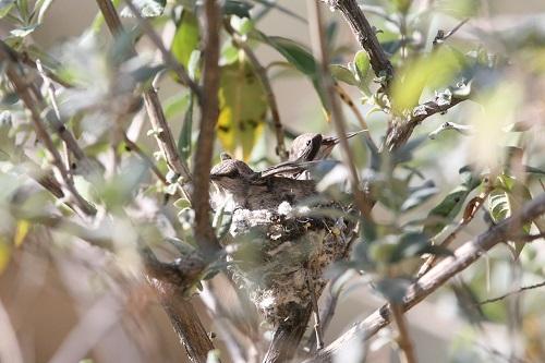 巣の中で羽ばたくアンナハチドリ雛