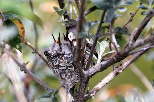 雛にエサ与えるアンナハチドリの雌