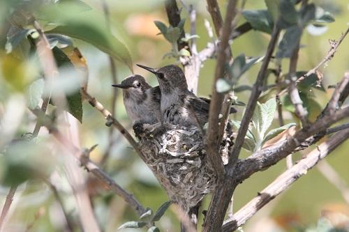 巣上のアンナハチドリ雛2羽