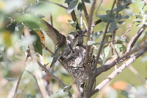 巣上で羽ばたくアンナハチドリ雌と雛2羽