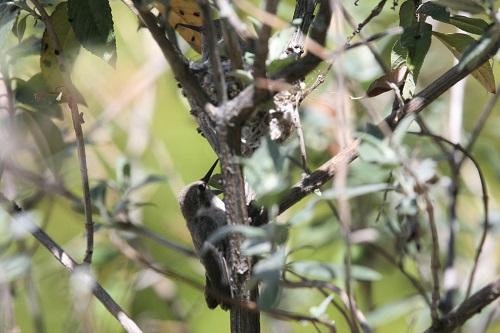 木をよじ登るアンナハチドリ雛
