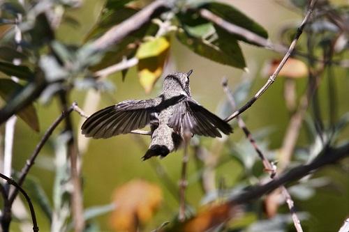 巣立ちして小枝につかまるアンナハチドリ雛