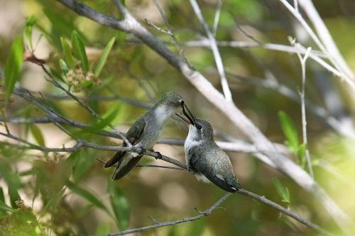 雌親からエサを貰うアンナハチドリ雛1