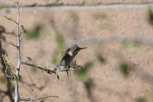 翼を羽ばたかせるアンナハチドリ雛