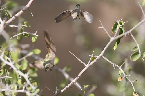 アンナハチドリ雌親と雛同時飛ぶ姿