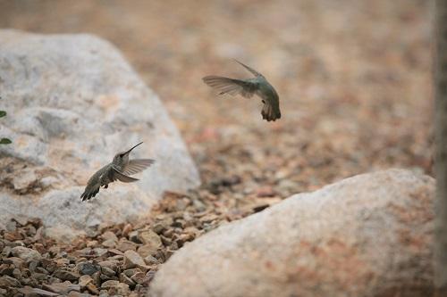 2羽のハミングバード空中戦