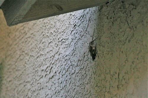 ノドグロハチドリ壁にへばりつく