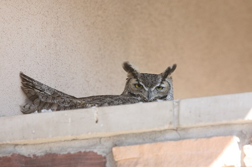 巣に座るワシミミズク雌1