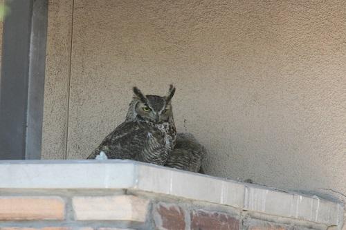 翼を広げて雛を隠すワシミミズク雌