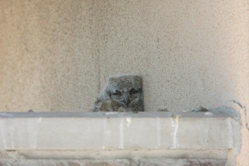 巣上のワシミミズク雛一羽