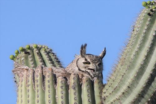 サワーロの巣に座るワシミミズク雌