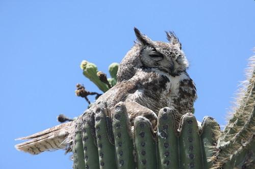尾が巣からはみ出てるワシミミズク