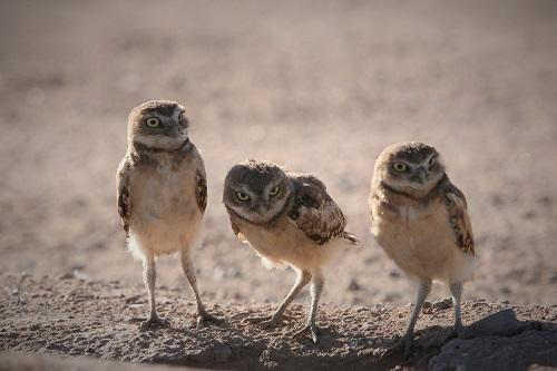 アナホリフクロウ雛3羽並ぶ