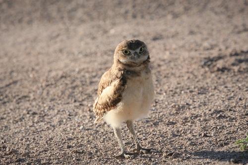 アナホリフクロウ雛正面向き1羽