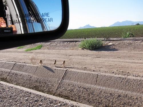 車から眺める畑とアナホリフクロウ一家