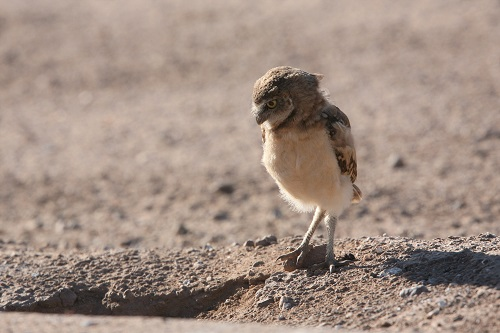アナホリフクロウ雛巣穴見つめる