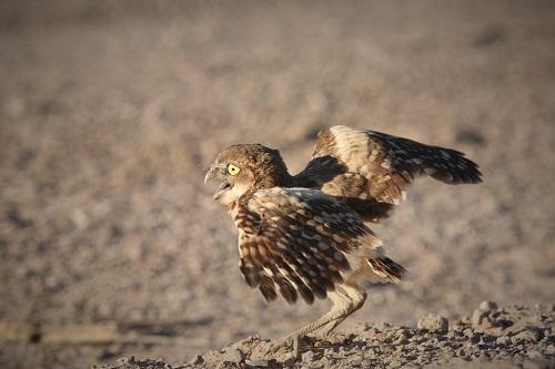 アナホリフクロウ雛飛ぶ練習