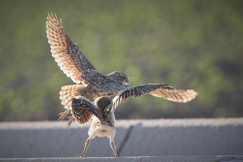 アナホリフクロウ親と雛の飛び立ち