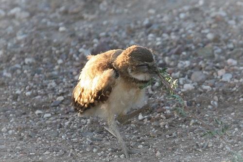 アナホリフクロウ雛草を引っ張る