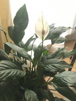 スパティフィラムの花